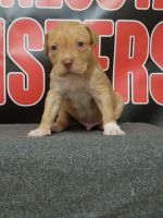 American Bully Puppies for sale in Winona, MN 55987, USA. price: NA