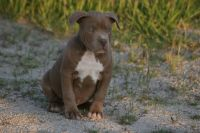 American Bully Puppies for sale in Palmdale, CA, USA. price: NA