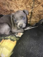American Bully Puppies for sale in 135 Frontier Dr NW, Conyers, GA 30012, USA. price: NA