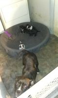 American Bully Puppies for sale in Charlotte, NC 28217, USA. price: NA