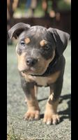 American Bully Puppies for sale in Henderson, NV, USA. price: NA