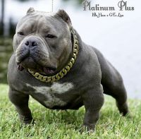 American Bully Puppies for sale in Waco, TX, USA. price: NA