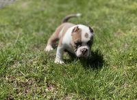 American Bully Puppies for sale in Williamstown, Monroe Township, NJ 08094, USA. price: NA