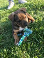American Bully Puppies for sale in Kansas City, KS, USA. price: NA