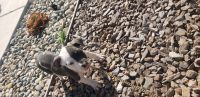 American Bully Puppies for sale in Menifee, CA, USA. price: NA
