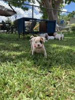 American Bully Puppies for sale in Princeton, FL 33032, USA. price: NA