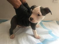 American Bully Puppies for sale in Fontana, CA, USA. price: NA