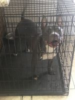 American Bully Puppies for sale in Phoenix, AZ 85020, USA. price: NA