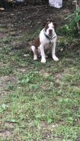 American Bully Puppies for sale in 3632 Massoit Dr, Augusta, GA 30906, USA. price: NA