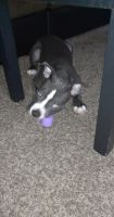 American Bully Puppies for sale in Mesa, AZ, USA. price: NA