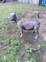 American Bully Puppies for sale in Paris, TX, USA. price: NA
