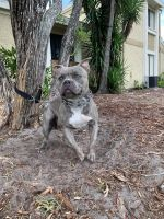 American Bully Puppies for sale in Vero Beach, FL, USA. price: NA