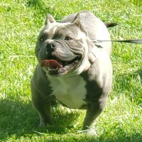American Bully Puppies for sale in Streamwood, IL 60107, USA. price: NA