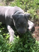 American Bully Puppies for sale in Fairview Heights, IL 62208, USA. price: NA