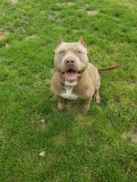 American Bully Puppies for sale in Columbia, SC 29229, USA. price: NA