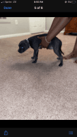 American Bully Puppies for sale in Apex, NC, USA. price: NA