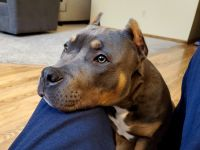 American Bully Puppies for sale in Lino Lakes, MN, USA. price: NA