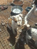 American Bully Puppies for sale in Lubbock, TX, USA. price: NA