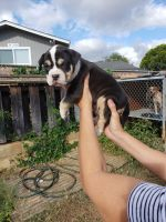 American Bully Puppies for sale in Waianae, HI 96792, USA. price: NA