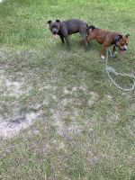 American Bully Puppies for sale in Hampton, SC 29924, USA. price: NA