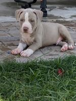 American Bully Puppies for sale in Selma, TX 78154, USA. price: NA