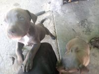 American Bully Puppies for sale in Sacramento, CA, USA. price: NA