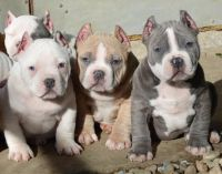 American Bully Puppies for sale in Allentown, PA, USA. price: NA