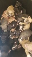 American Bully Puppies for sale in Oklahoma City, OK, USA. price: NA