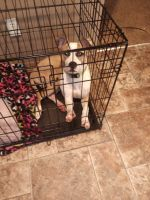 American Bully Puppies for sale in Charlotte, NC 28215, USA. price: NA
