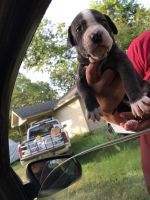 American Bully Puppies for sale in 319 E Southcross, San Antonio, TX 78214, USA. price: NA