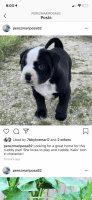 American Bully Puppies for sale in Vineland, NJ, USA. price: NA