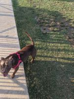 American Bully Puppies for sale in Addison, TX, USA. price: NA