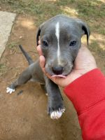 American Bully Puppies for sale in Charlotte, NC, USA. price: NA