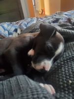 American Bully Puppies for sale in Portland, OR 97232, USA. price: NA