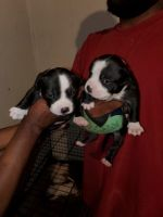 American Bully Puppies for sale in Aurora, CO 80013, USA. price: NA