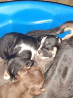 American Bully Puppies for sale in Franklin, VA 23851, USA. price: NA