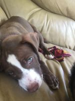 American Bully Puppies for sale in Dickson, TN 37055, USA. price: NA