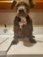 American Bully Puppies for sale in Laurel, MS 39440, USA. price: NA