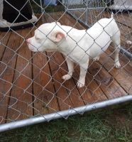 American Bully Puppies for sale in Montgomery, AL, USA. price: NA