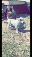 American Bully Puppies for sale in Tampa, FL, USA. price: NA