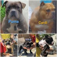 American Bully Puppies for sale in Fremont, CA, USA. price: NA