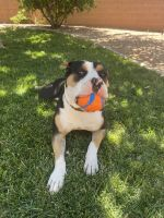 American Bully Puppies for sale in St. George, UT, USA. price: NA