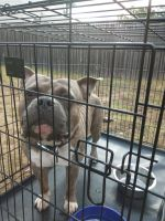 American Bully Puppies for sale in 1413 Kenneys Way, Round Rock, TX 78665, USA. price: NA