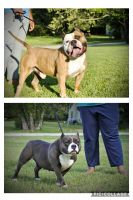American Bully Puppies for sale in Trenton, TN 38382, USA. price: NA