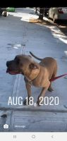 American Bully Puppies for sale in The Bronx, NY, USA. price: NA