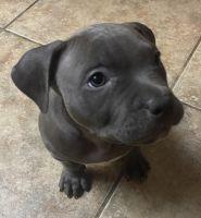 American Bully Puppies for sale in Rialto, CA 92376, USA. price: NA