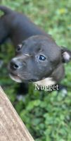 American Bully Puppies for sale in 7275 E State Hwy 29, Georgetown, TX 78626, USA. price: NA