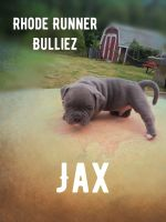 American Bully Puppies for sale in North Providence, RI, USA. price: NA