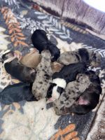American Bully Puppies for sale in Raleigh, NC, USA. price: NA