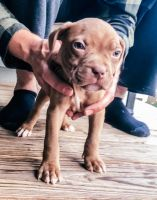 American Bully Puppies for sale in Lafayette, IN, USA. price: NA